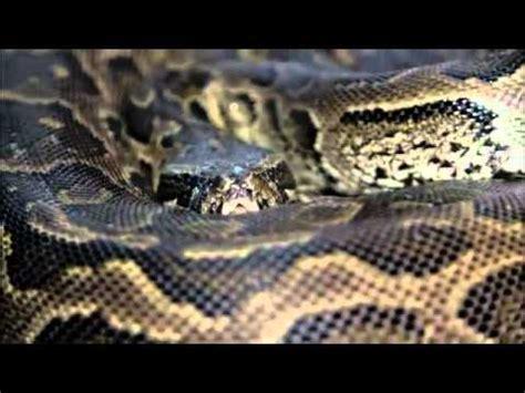heboh warga seuneuddon aceh utara temukan ular berkepala ular terbesar di dunia the worl biggest snake doovi