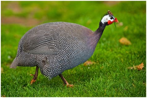 backyard guinea fowl the helmeted guinea fowl of africa vs of u s