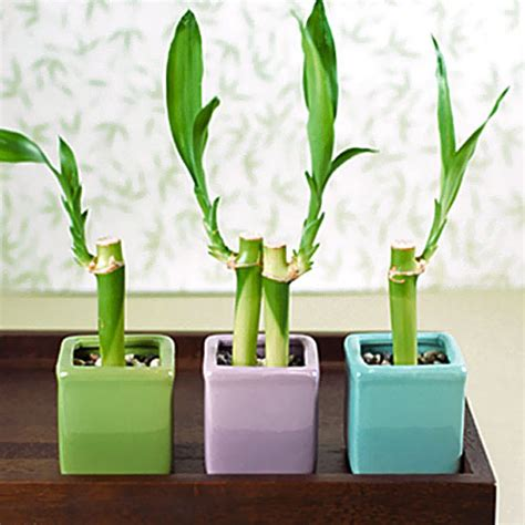 mini lucky bamboo plants fashionbridesmaid