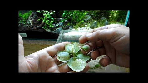 Plants That Don T Need Water aquarium plant discussion about floating plants frogbit