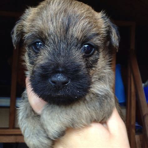 cairn terrier puppy cairn terrier puppies llantwit major vale of glamorgan pets4homes