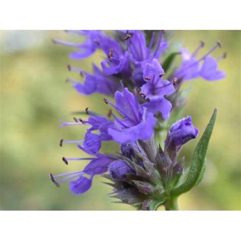 Benih Foxglove Mixed bibit bunga hyssopus