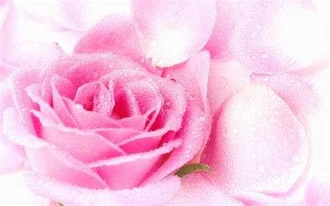 top 7 amazing pink and amazing macro photography pink roses wallpaper best hd