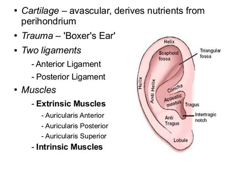 ear surface anatomy meatus images stock pictures royalty anatomy embryology ext ear middle ear