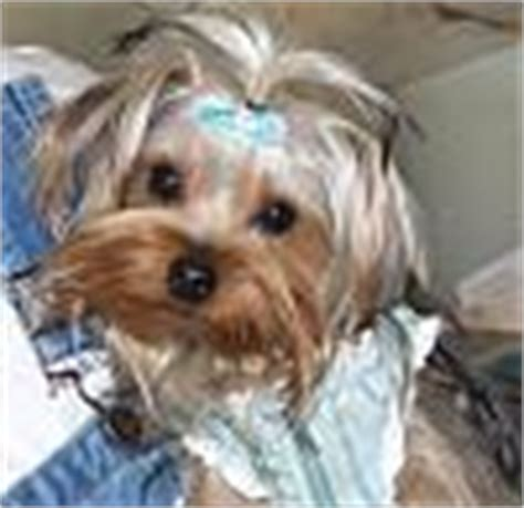 history of large yorkshire terriers with floppy ears pin silky terrier just about pets on pinterest
