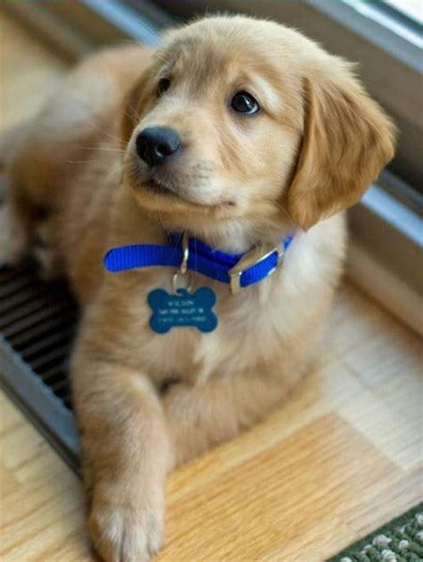 forum golden retriever golden retriever ernahrung forum dogs in our photo