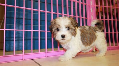 havanese puppies for sale indiana looking white havanese puppies for sale near atlanta ga at puppies