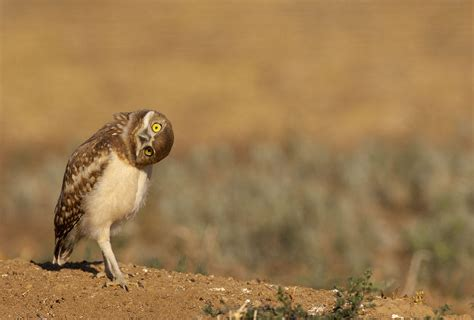 burrowing owl audubon california