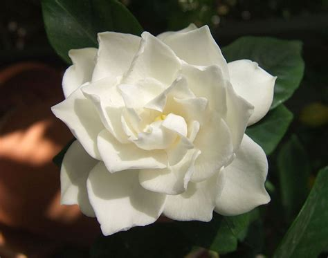 Gardenia Meaning Meaning Of Flowers Meaning Of Flowers G