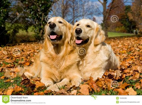 two golden retrievers 2 beautiful golden retrievers on autumn leaves stock photo image 10435298