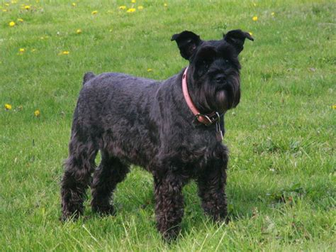 black schnauzer puppies schnauzers s a distinctively bearded snout