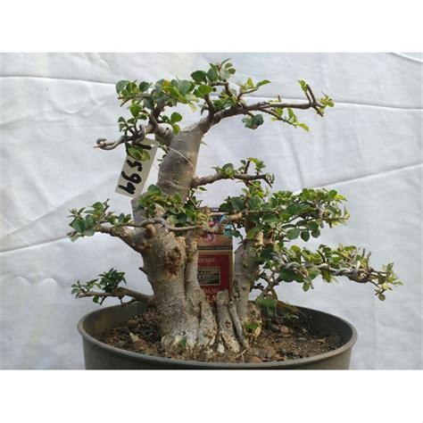 jual tanaman bonsai serut   lapak kebunbibit