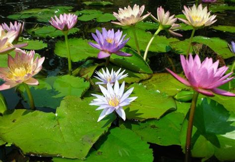 tropical water plants tropical water lilies for more information on pond and