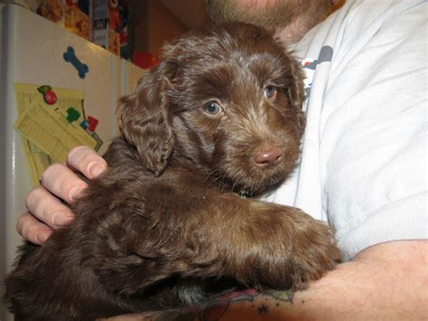 best age to spay what is the best age to neuter or spay your aussiedoodle and labradoodle puppies