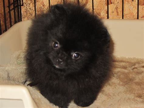 teacup pomeranian black pomeranian teacup puppy black pomeranian hd wallpapers widescreen high