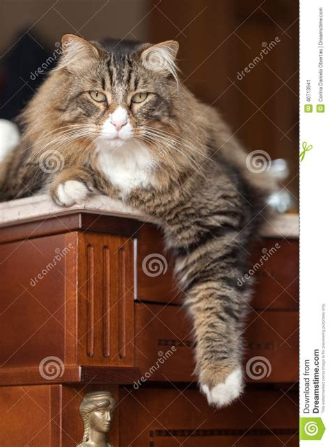 brown fluffy relaxed brown fluffy cat stock photo image 40713941