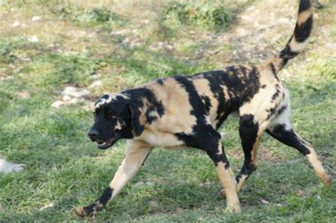 Labrador Afrika 2 labrador retriever with an extremely gene that