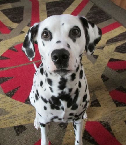 dalmatian puppies for sale in wv dalmatian for sale puppies for sale