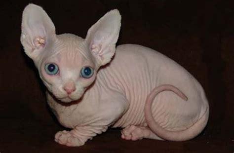 Imagenes Egipcias De Gatos   diferentes razas de gato egipcio con o sin pelo gatos