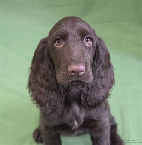 17 Best images about Field Spaniel on Pinterest ...