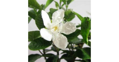 buy tagar mini plant   india  cheap price  plantsgurucom