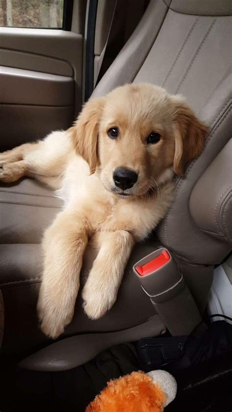show me pictures of baby golden retrievers the 25 best golden labrador puppies ideas on golden labrador