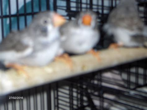 zebra finches for sale stockton on tees county durham