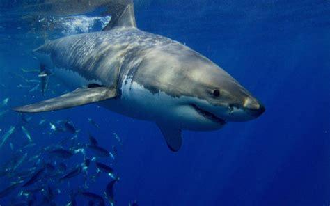 Imagenes De Tiburones Wallpaper   tiburones blancos im 225 genes y fotos