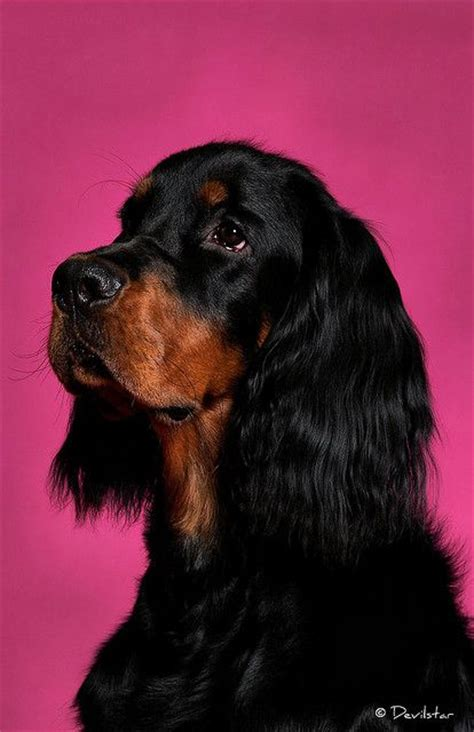 gordon setter dog breeders 43 best images about gordon setter art and gifts on