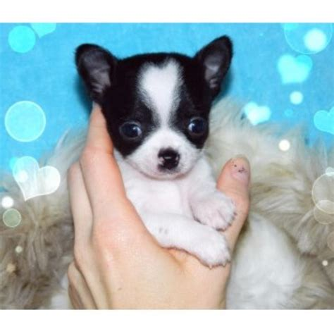 breeders bay area home of tiny chihuahuas tinychi chihuahua breeder in ta bay area florida
