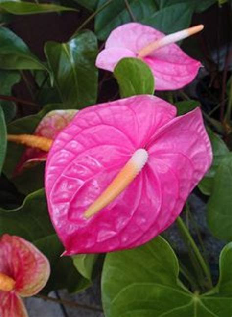 Tanaman Hias Anthurium Pink pink anthurium anthurium pink and photos