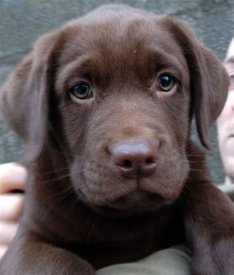 chocolate lab puppies for sale in colorado chunky chocolate labrador puppy for sale swansea swansea pets4homes