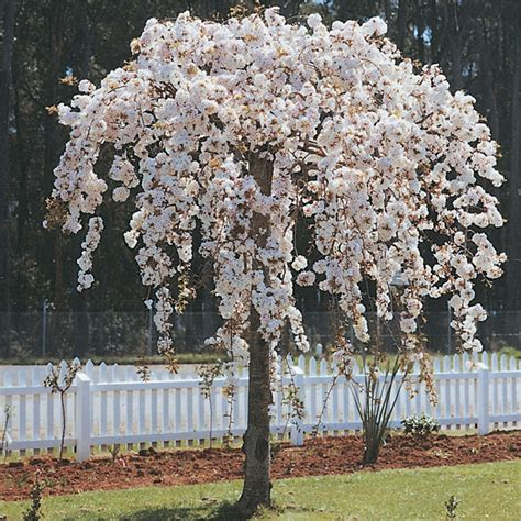 bunnings cherry blossom bagged prunus subhirtella pendula weeping cherry bunnings warehouse