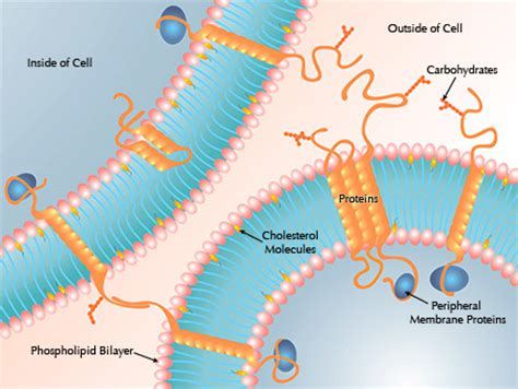 scientific  cell membrane structure  function