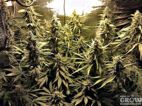 dutch passion power plant seeds