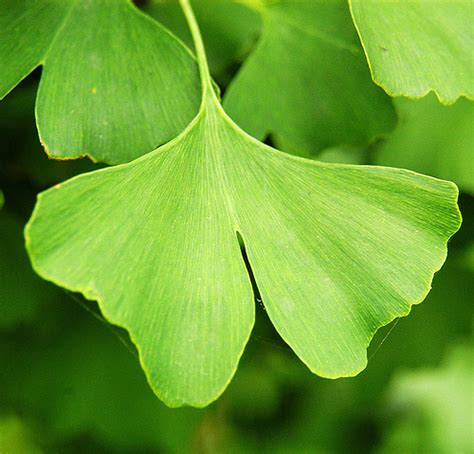 shanghai ginkgo biloba leaf flickr photo sharing