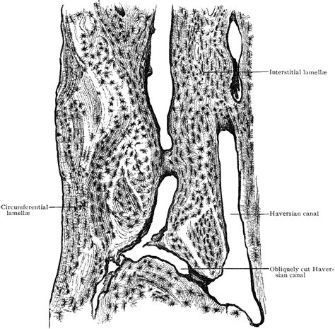 cold sweats after c section section of bone 28 images cross bone section quot