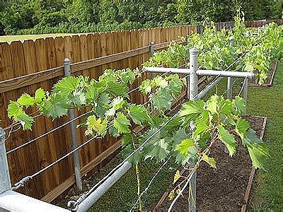 planting grapes in backyard growing grapes jacques s vineyard