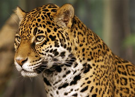 Arizona Jaguar Extinct Endangered Species News Bulletin