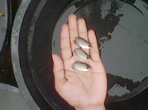 Jual Bibit Gurame Eceran jual bibit ikan gurame segala ukuran dan gurame konsumsi jual bibit ikan gurame segala ukuran