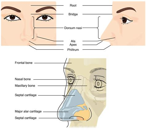 anatomy of human nose nose human anatomy organs template baldaivirtuves info 22 1 organs and structures of the respiratory system anatomy and physiology