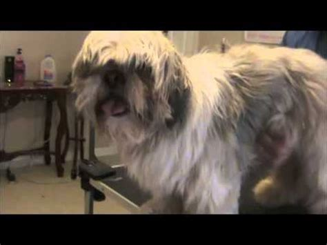 how to groom a shih tzu with clippers grooming the shih tzu how to save money and do it yourself