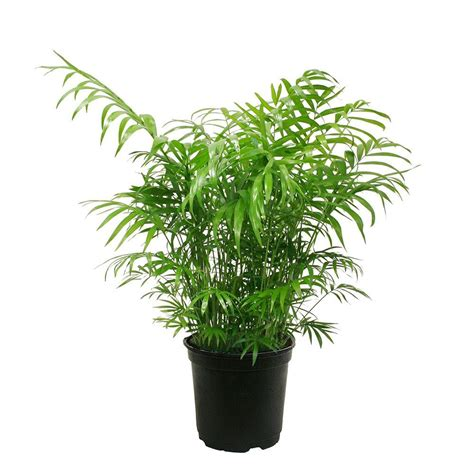 delray plants neanthebella palm in 6 in pot 6nean the