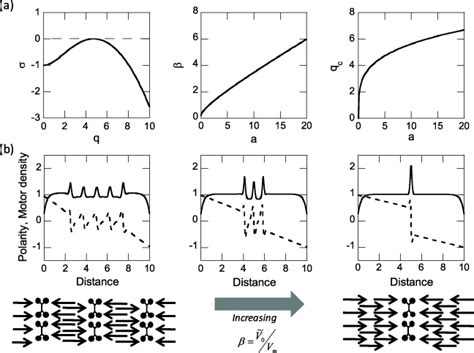 sarcomeric pattern formation by actin cluster coalescence the emergence of sarcomeric graded polarity and spindle