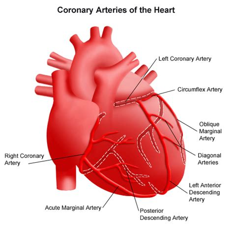 diagram of the arteries coronary artery disease stanford health care