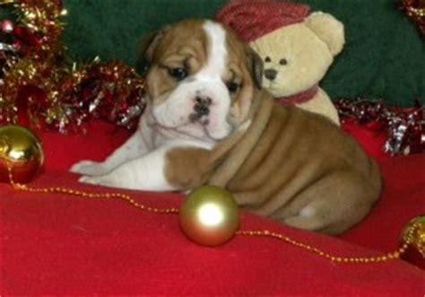 bulldog puppies for sale in sc mini bulldog puppies for sale in sc