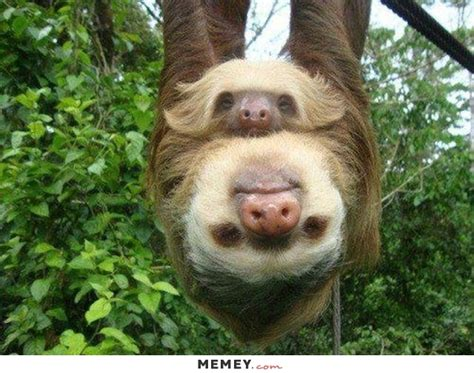 two sloths hanging from a tree memey com