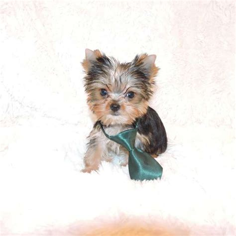 facts about teacup yorkies teacup terrier facts pets babydoll yorkie for sale paden teacup yorkies