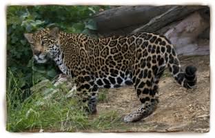 San Diego Zoo Jaguar Jaguar Facts For Jaguar Jaguar Pictures Jaguar