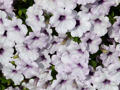 shrub with fragrant purple flowers free photo white purple petunia fragrant free image
